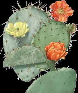 S-a dezvăluit o corelație pozitivă între o dietă bogată în cactus înțepător și un risc redus de boli asociate cu stresul oxidativ, cum ar fi diabetul, cancerul, bolile cardiovasculare si a bolilor neurodegenerative.